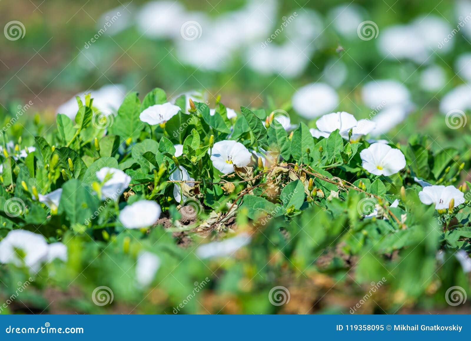 Flowering Field Bindweed Or Convolvulus Arvensis White Flowers