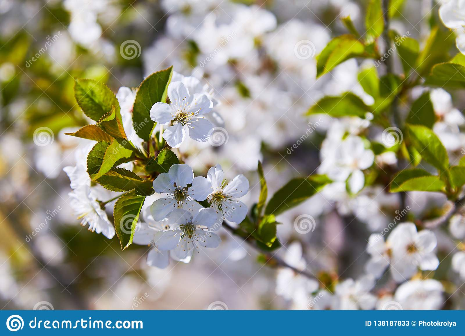 Flowering fruit trees on a spring day