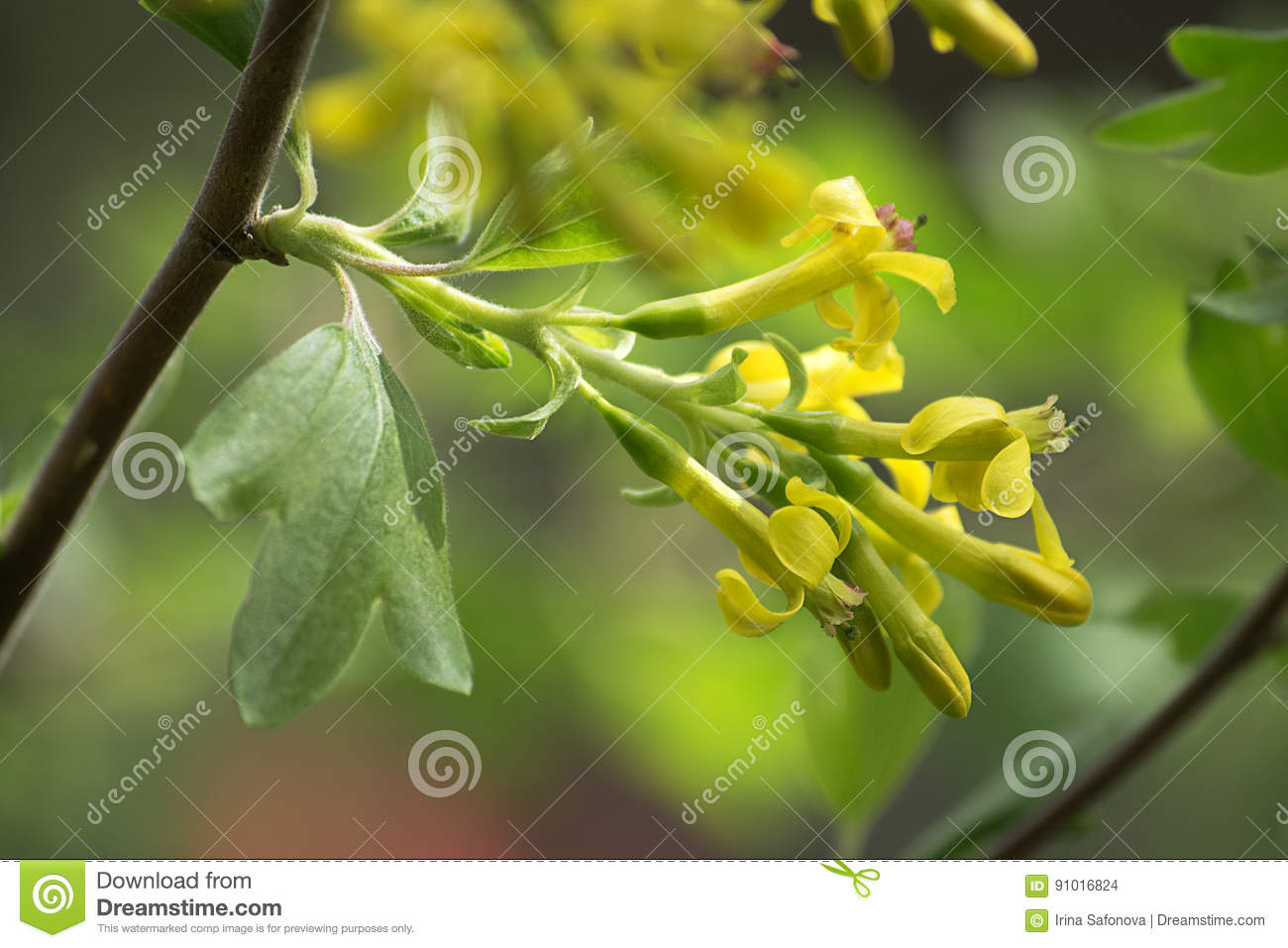 Flowering Of Golden Currant Other Name Ribes Aureum Stock Photo