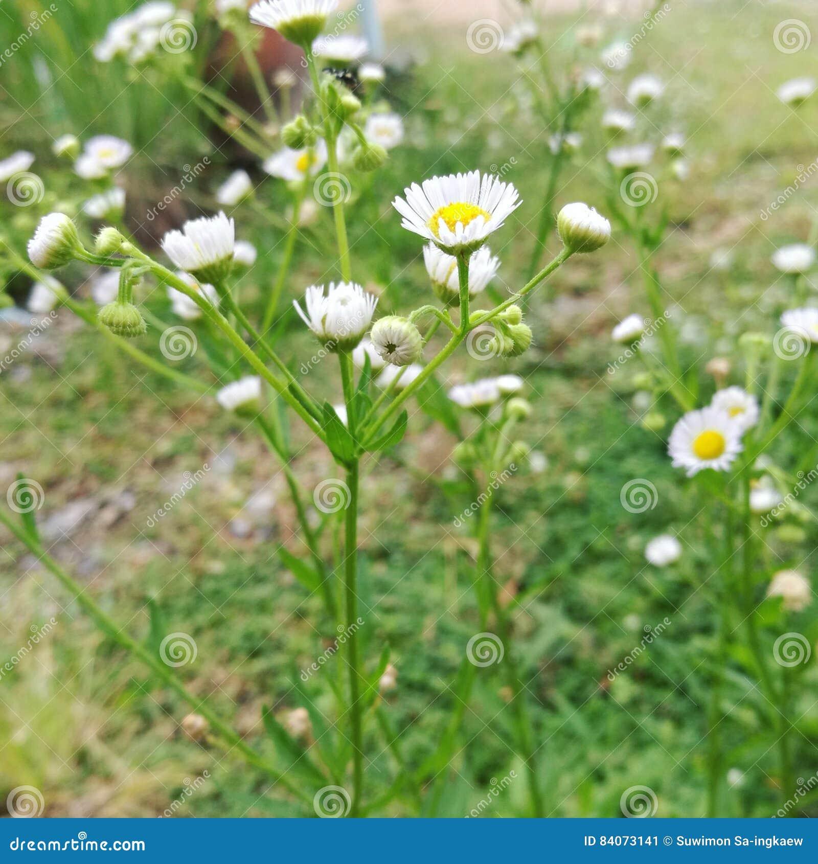 Flowering Grass Stock Image Image Of Flowering Whiteflowers 84073141