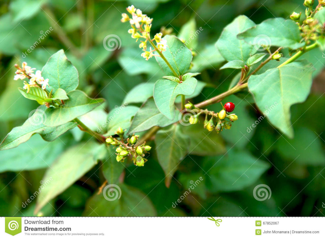 Flowering green plant with red berry like balls stock image image flowering green plant with red berry like balls mightylinksfo