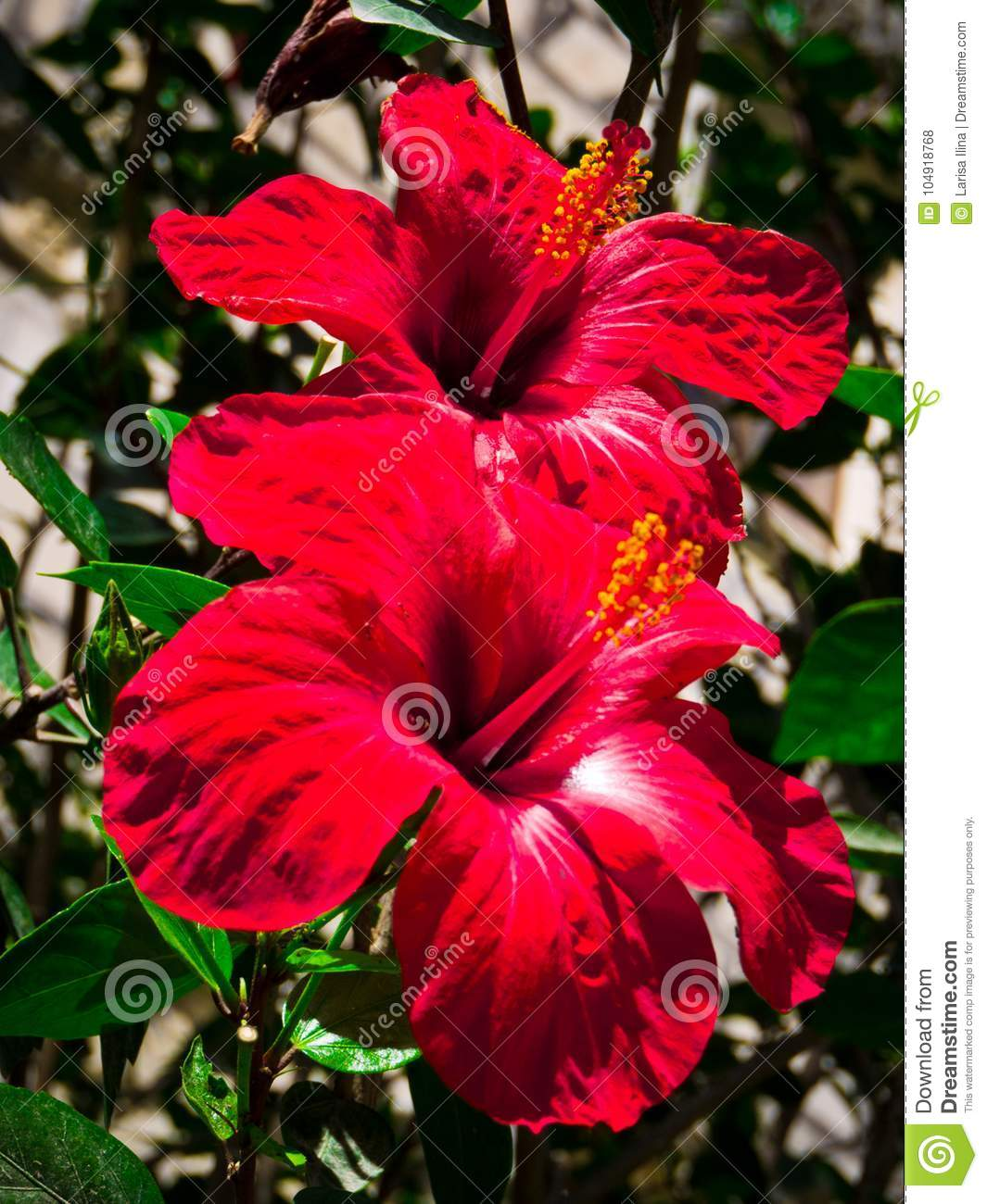 Flowering Hibiscus Hibiscus Flowers Red Hibiscus Stock Photo