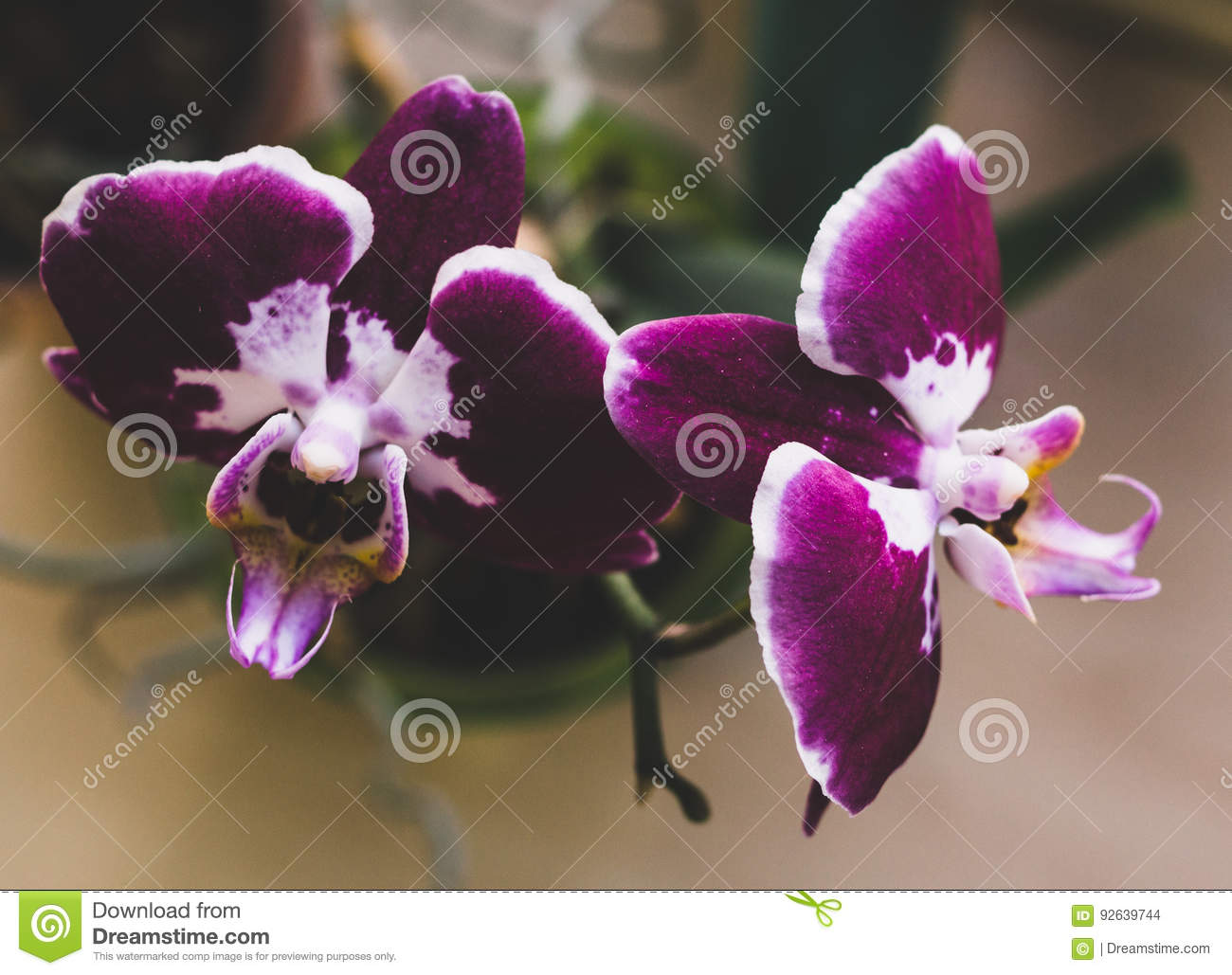 Flowering House Plants Indoor Plants Stock Photo Image Of Closeup