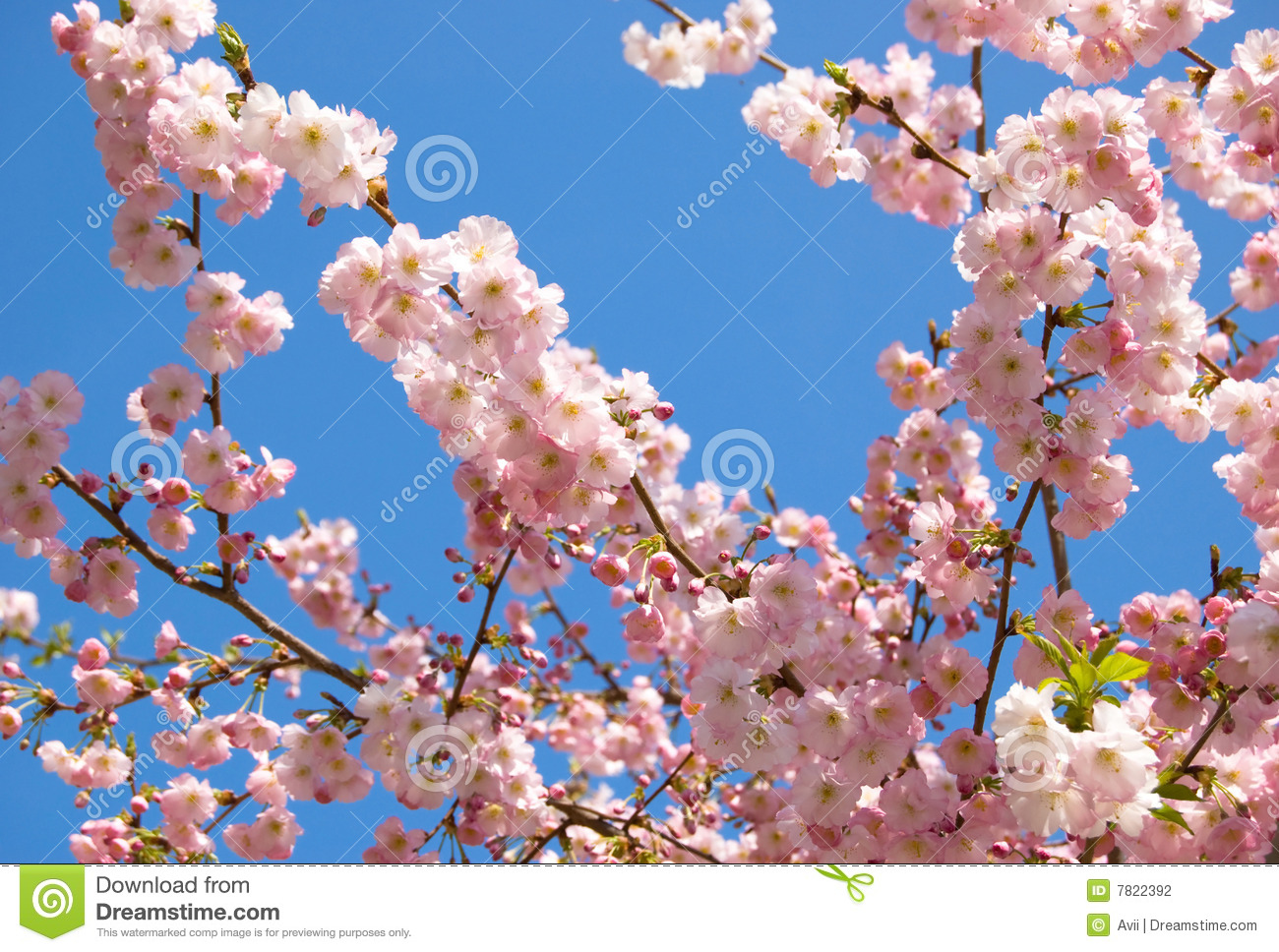 flowering japanese cherrytree stock photography  image, Natural flower