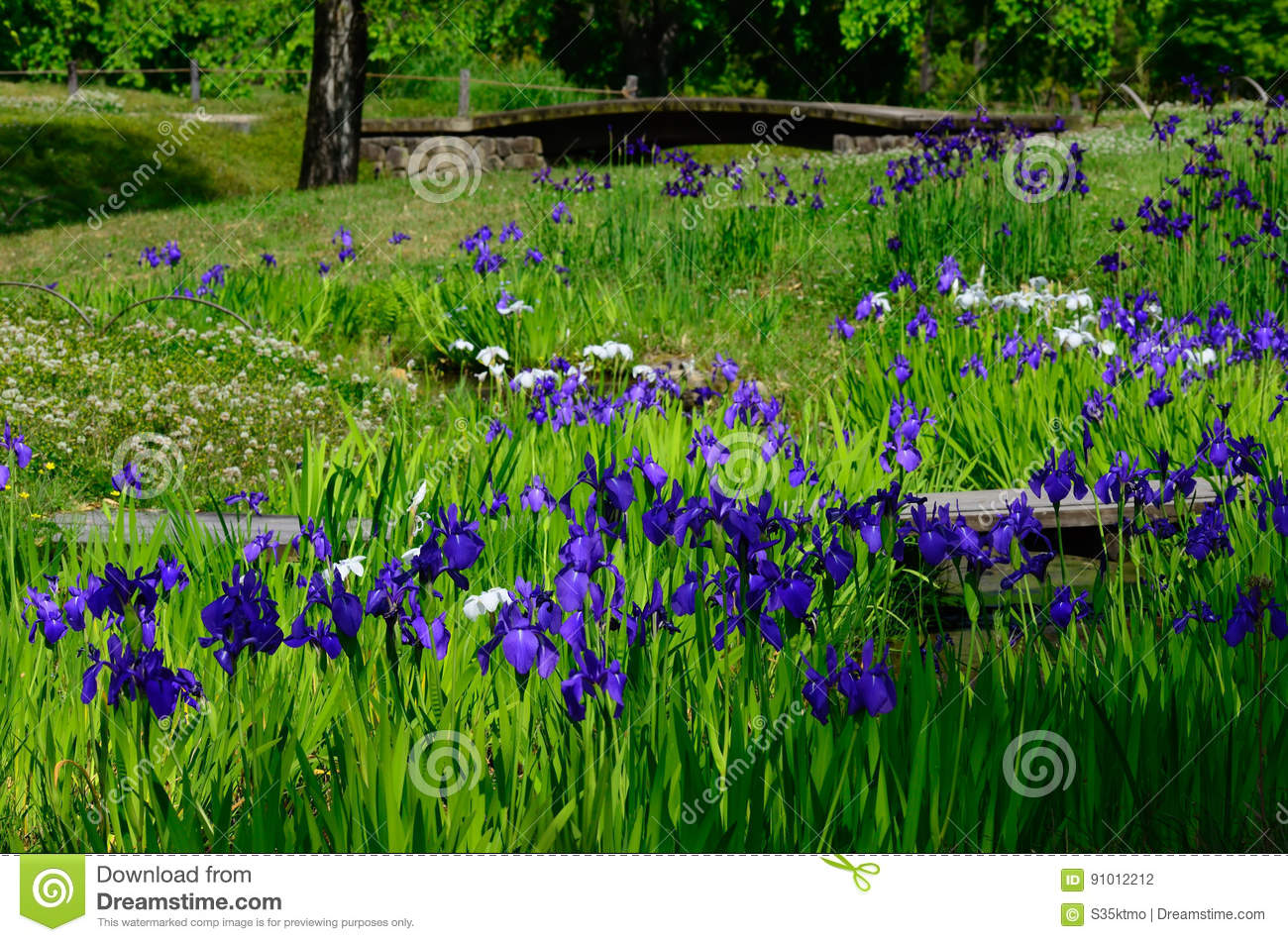 Download Flowering Japanese Garden, Kyoto Japan Stock Photo   Image Of  Ground, Purple: