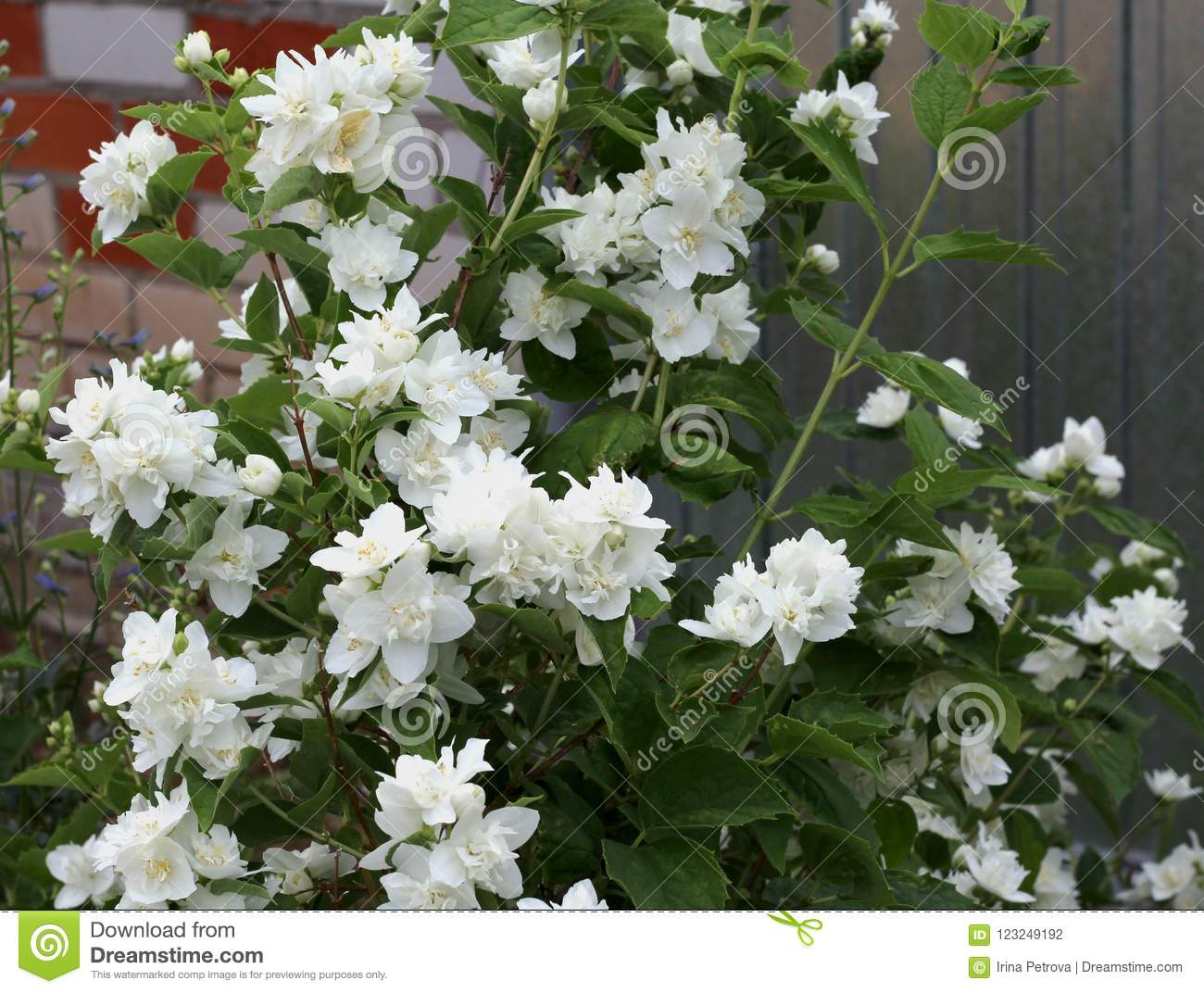Flowering Jasmine Bush In Front Of The House Stock Photo Image Of