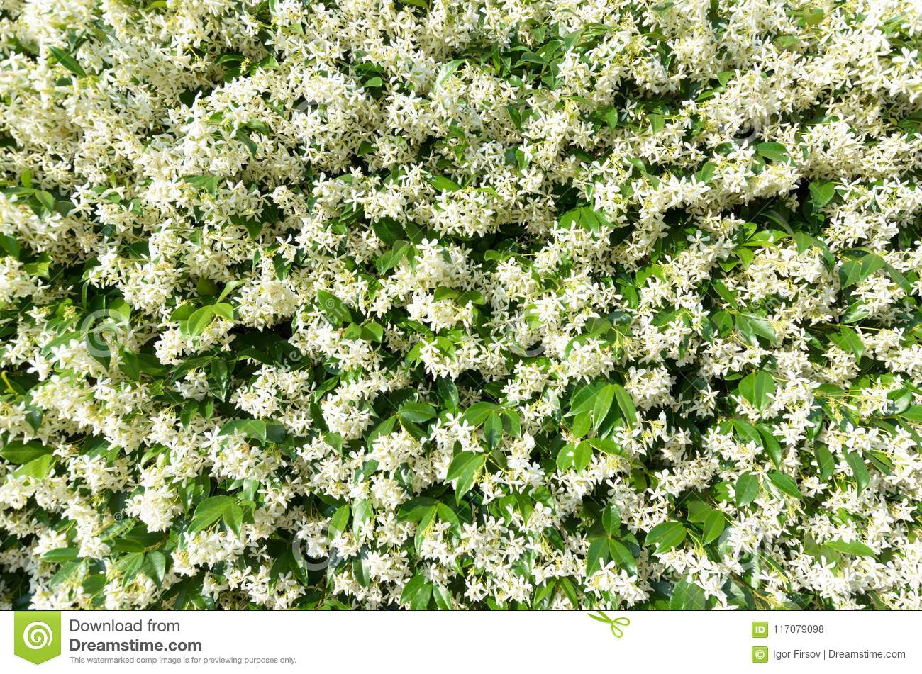 Flowering Jasmine Flower Climber Covers A Fence Stock Photo Image