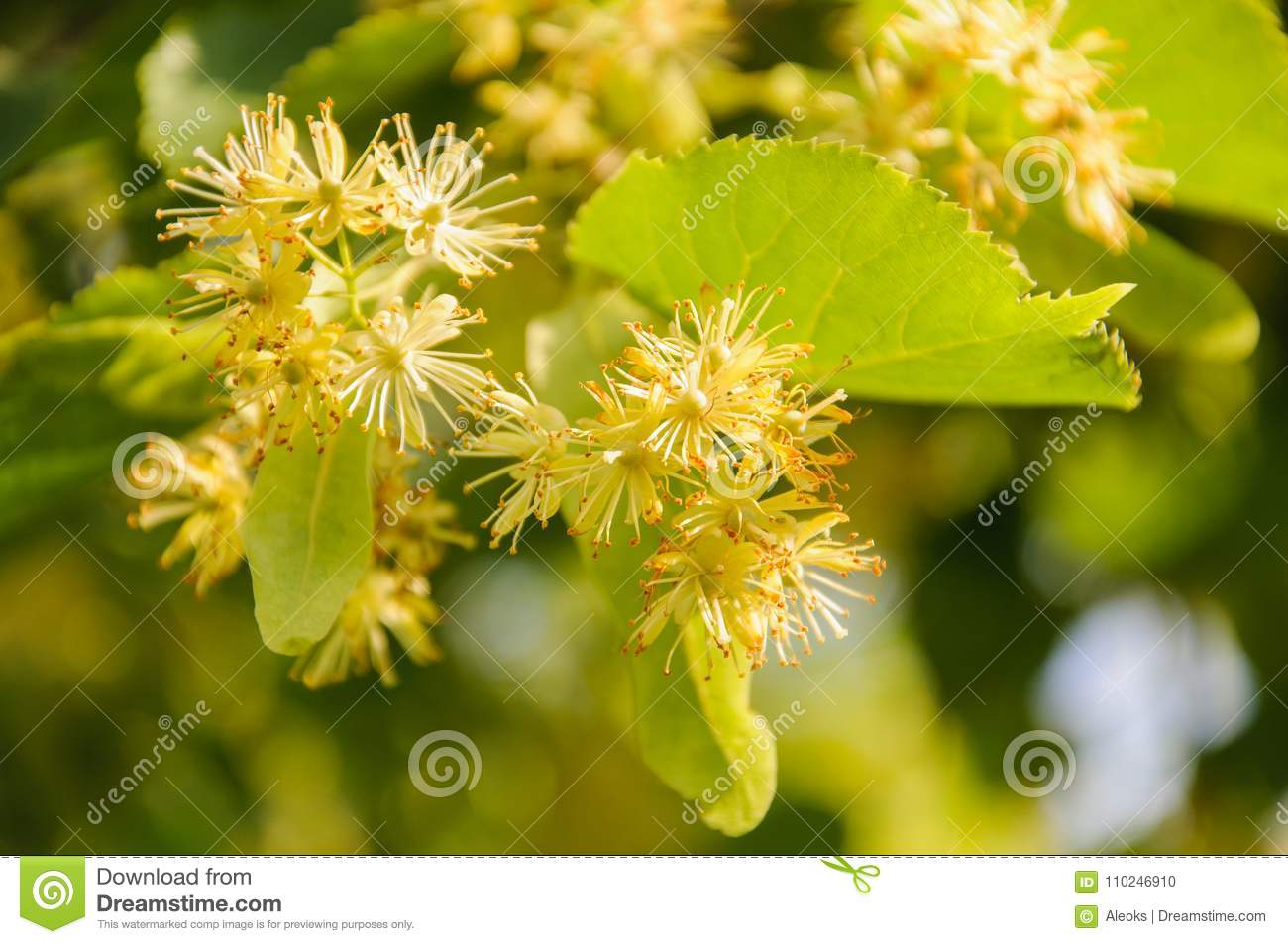Flowering Large Leaf Linden Tilia The Branches Are Covered With