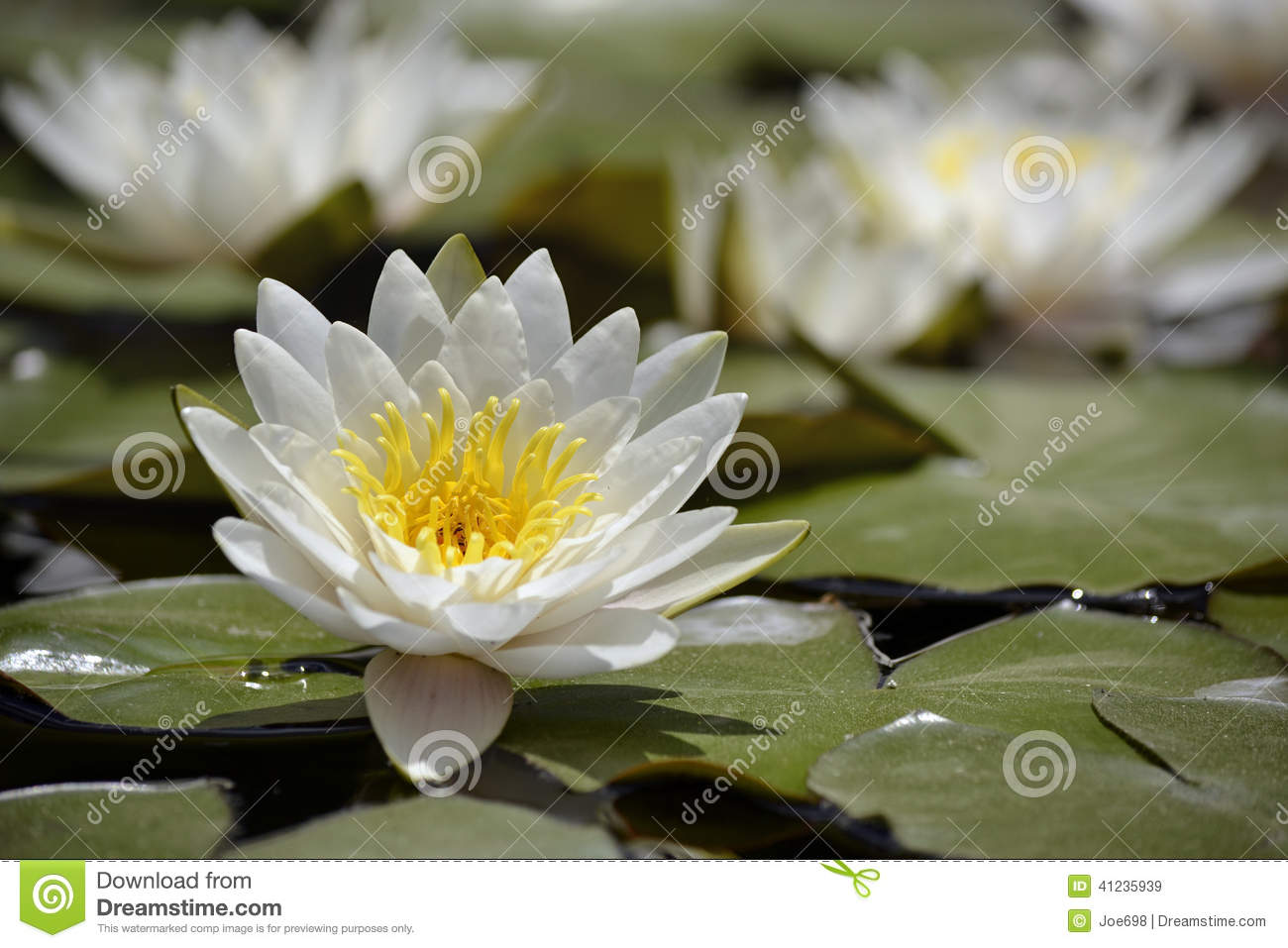 Flowering lilly pad on the water stock image image of flower a lilly pad with a large white flower in bloom on still waters izmirmasajfo