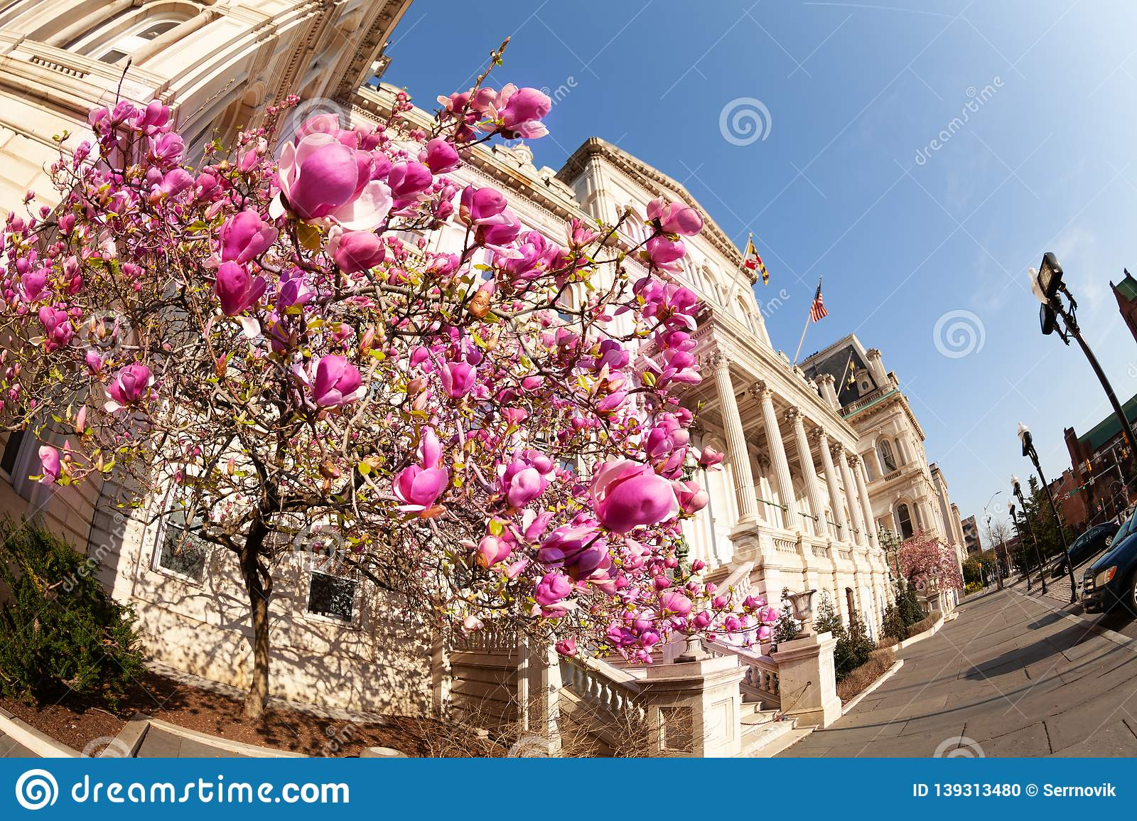 Flowering magnolia in front of Baltimore City Hall