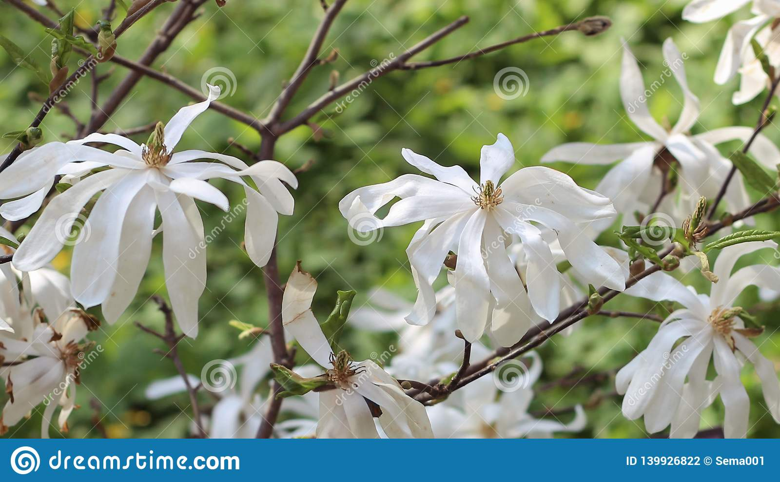Flowering Magnolia. Spectacular white Magnolia flowers on a Sunny spring day. Blurred background in the background.