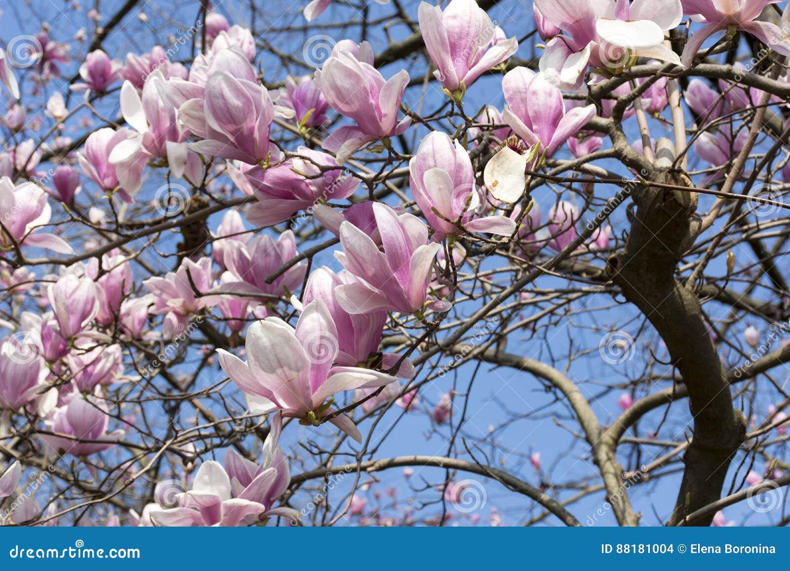 Flowering Magnolia Tree Pink Flowers On Blue Sky Background Sp