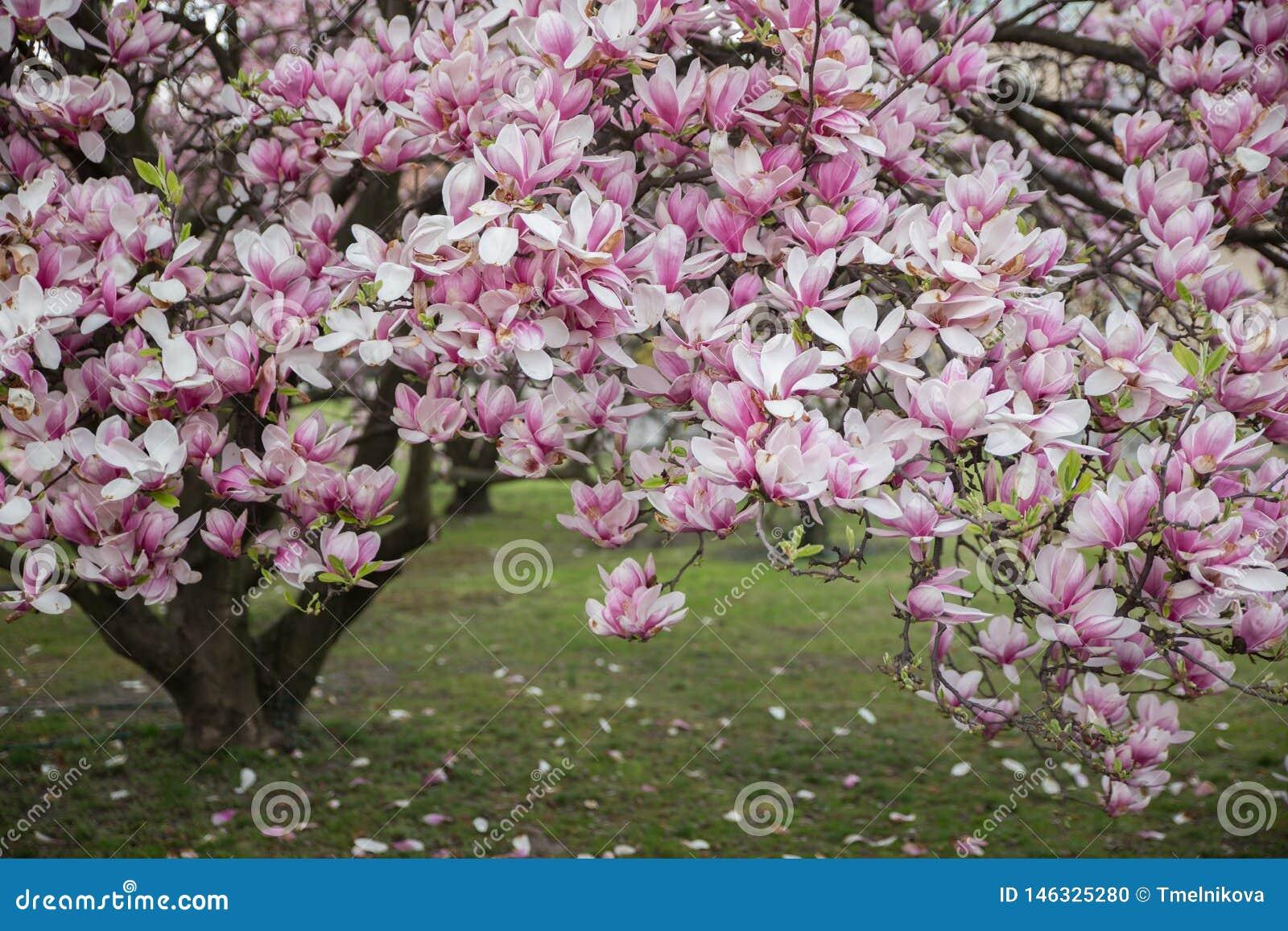 Flowering Magnolia Tulip Tree Pink Magnolias In Spring Day Stock