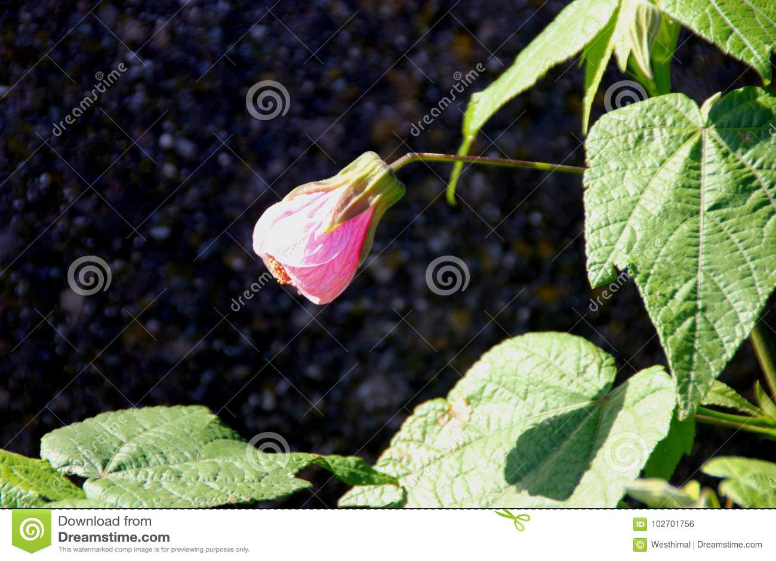 Flowering Maple Abutilon Hybridum Stock Photo Image Of Different