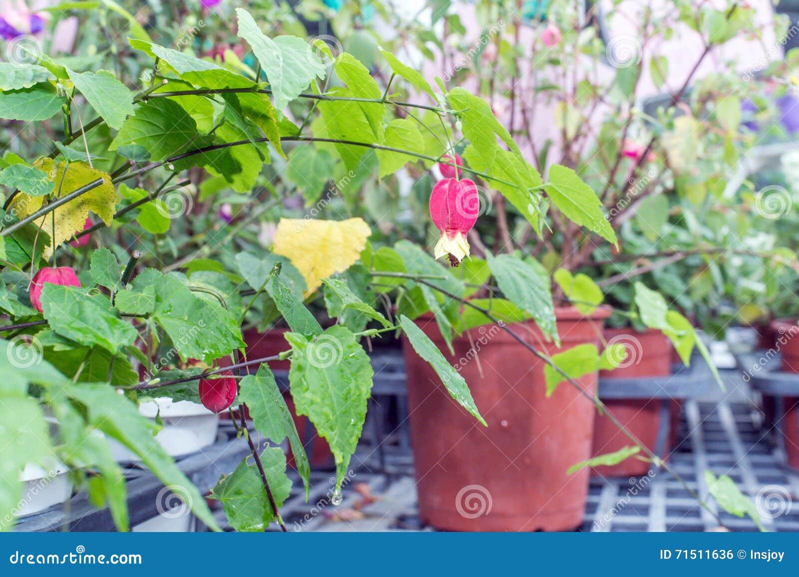 Flowering Mapletrailing Abutilonbrazilian Bell Flower Stock