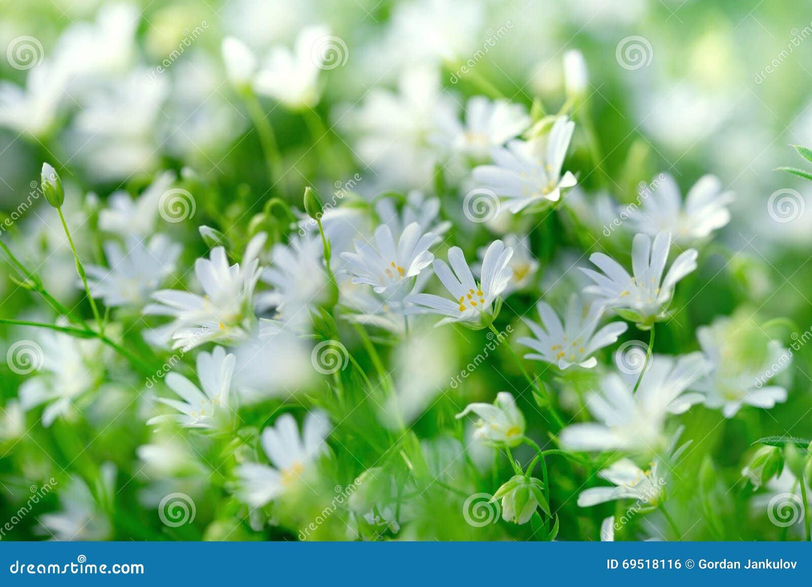 Flowering Meadow White Meadow Flowers Flowering Blooming In