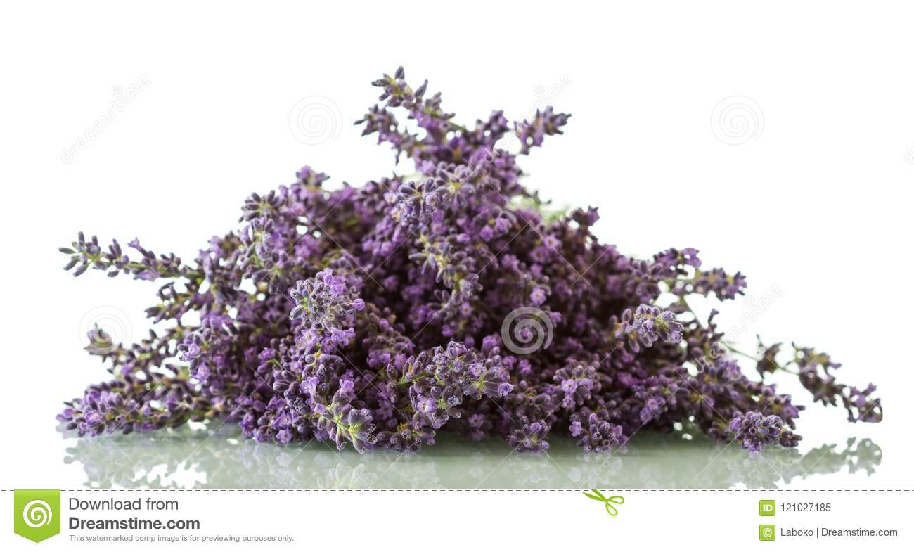 Flowering medicinal plant lavender isolated on white