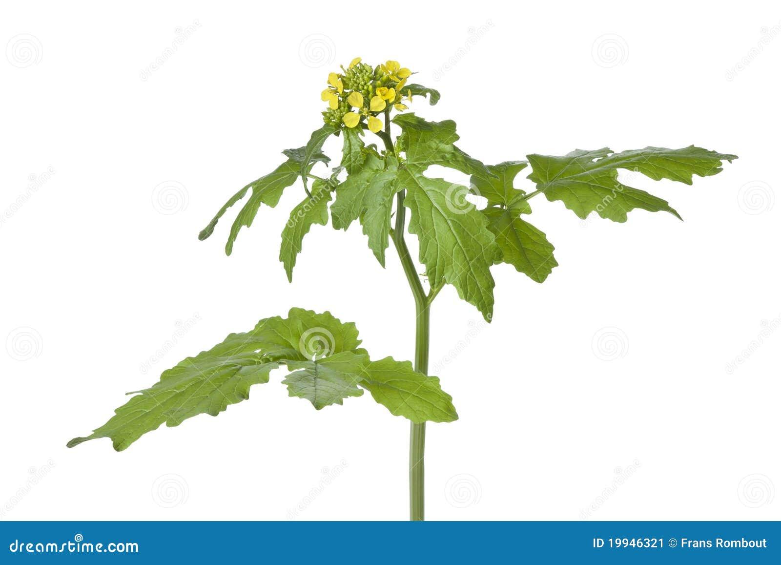 Flowering Mustard Plant Stock Image - Image: 19946321