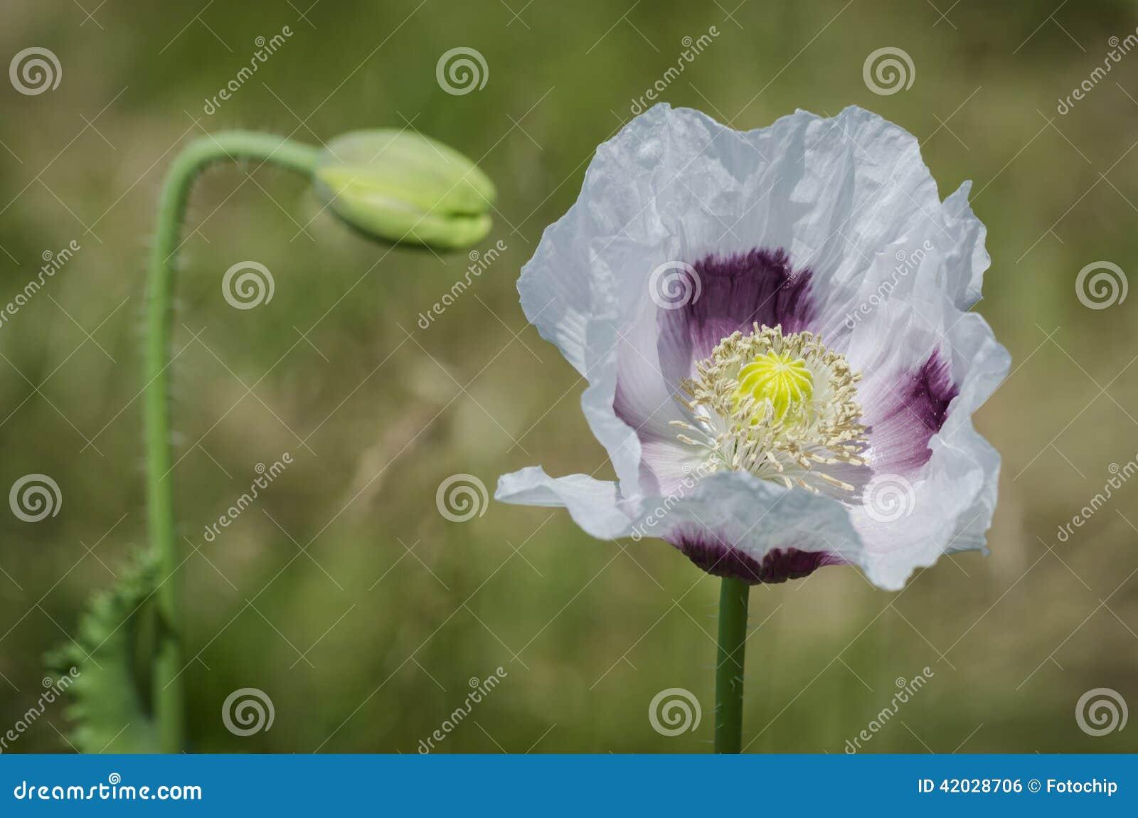 Flowering Opium Poppy Papaver Somniferum Stock Photo Image Of