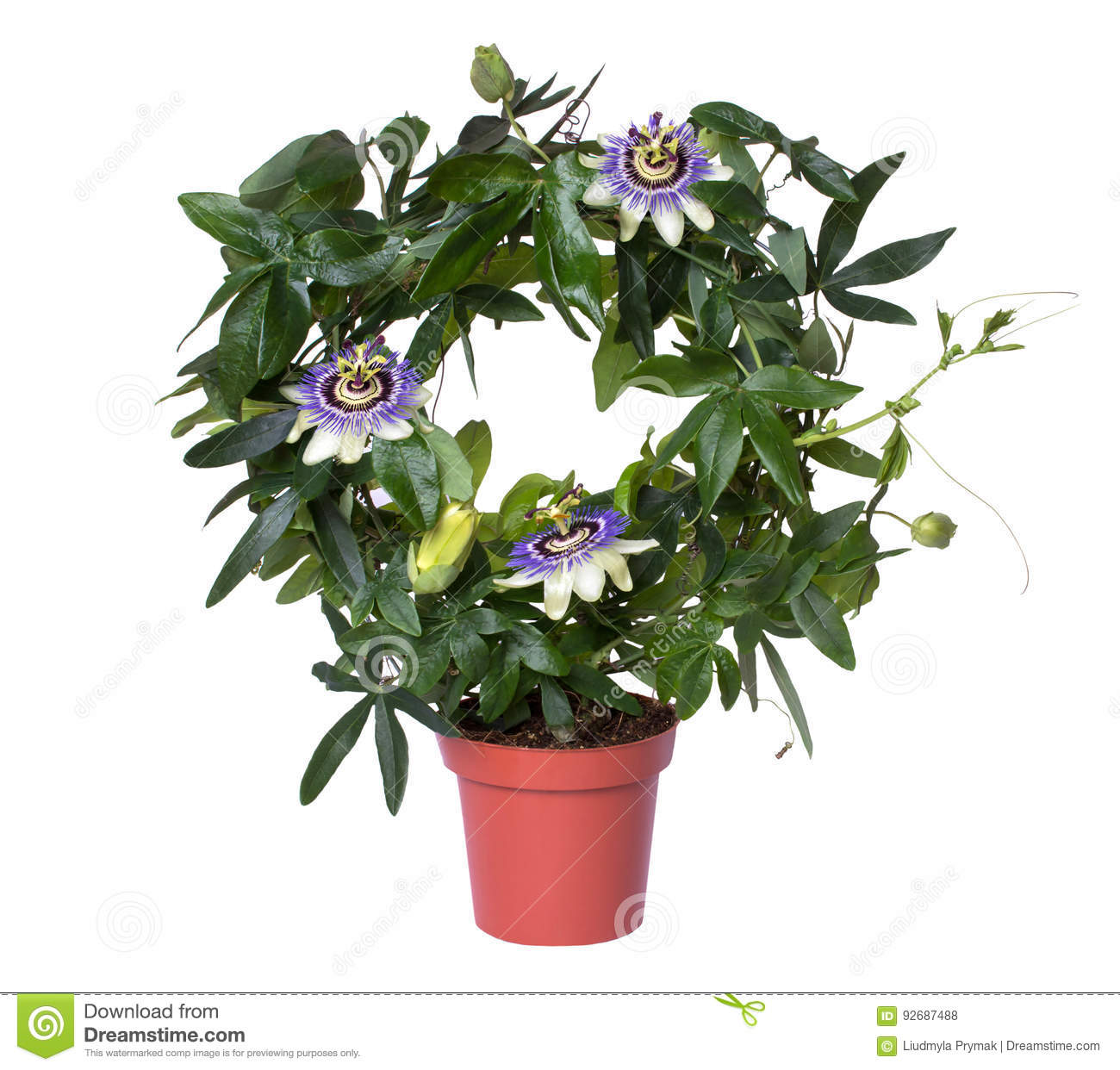 Flowering passiflora passionflower in a pot isolated on white background.
