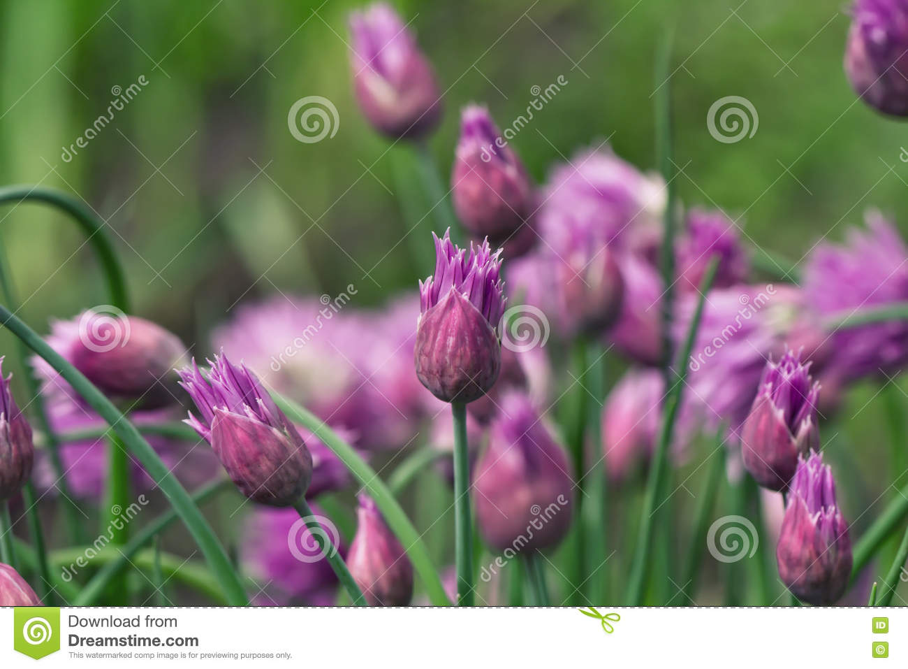 Flowering Perennial Plants Of The Siberian Onion Stock Image Image