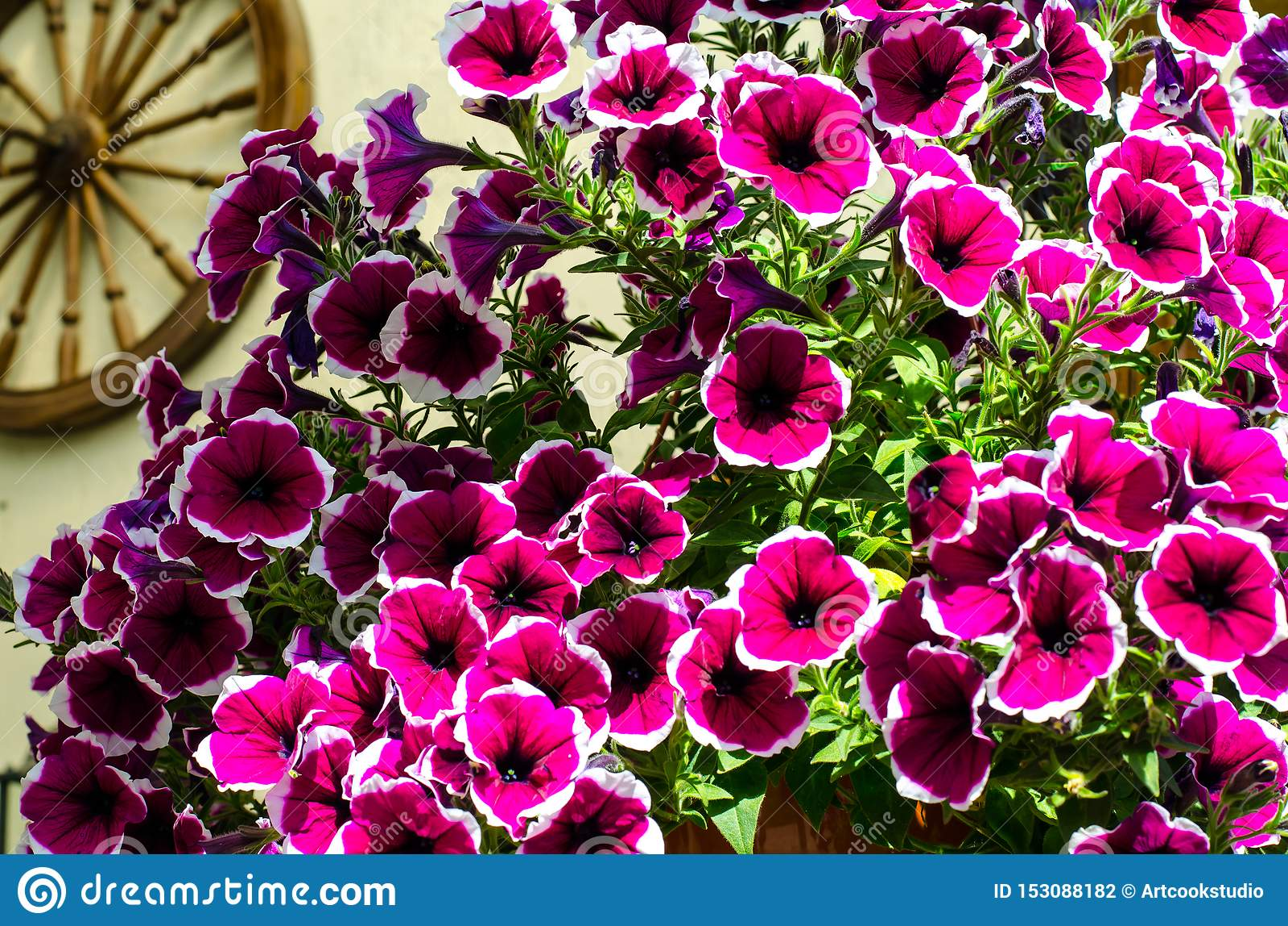 Flowering Petunia In Garden Landscape Design Stock Photo Image