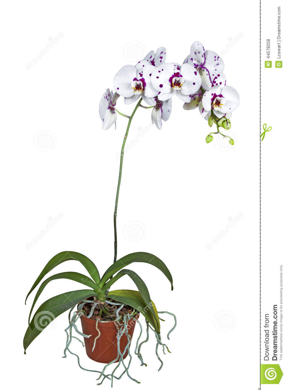 Flowering Phalaenopsis Orchid With Roots Climbing Out