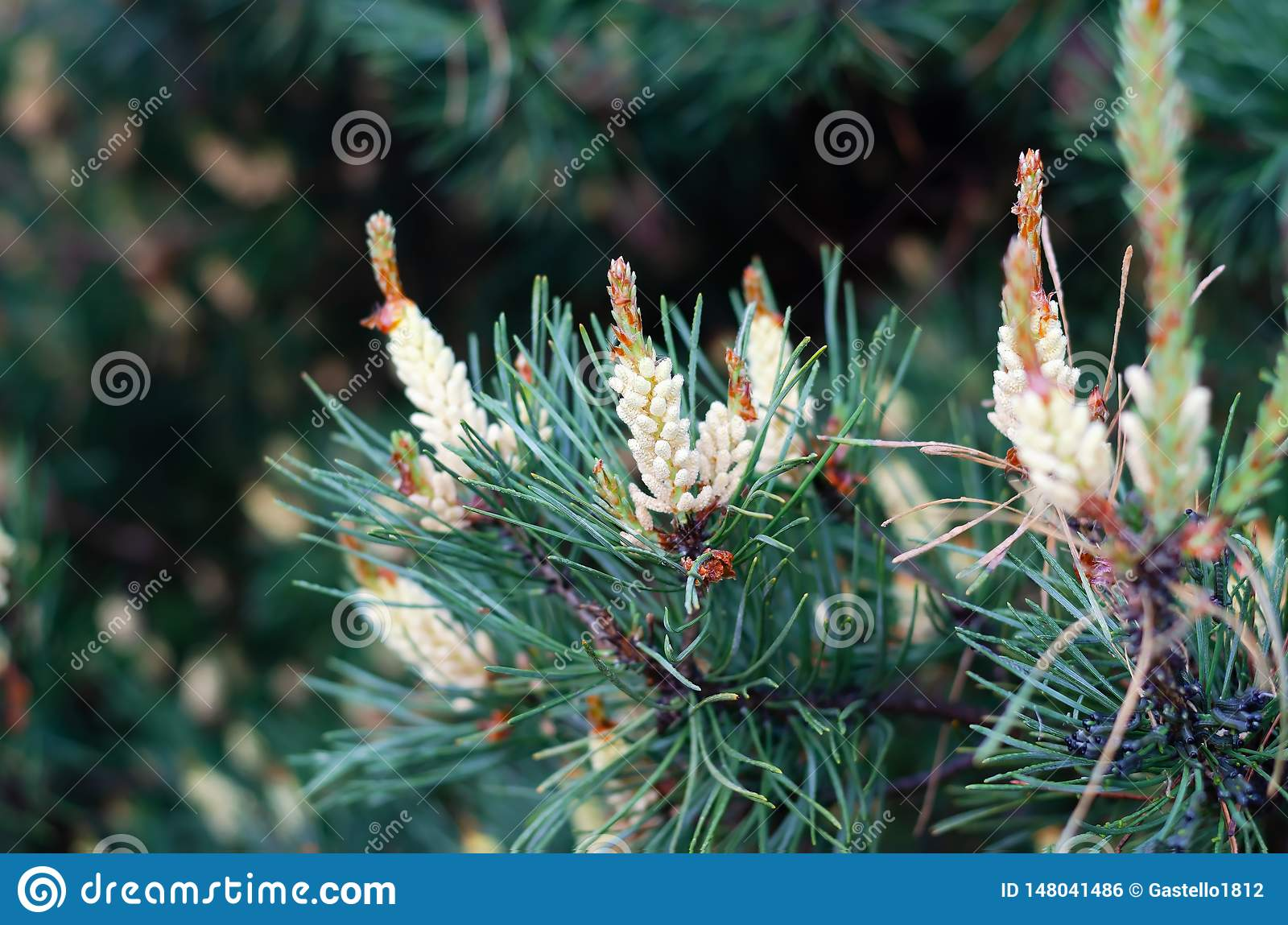 Flowering pine branches in the spring forest.