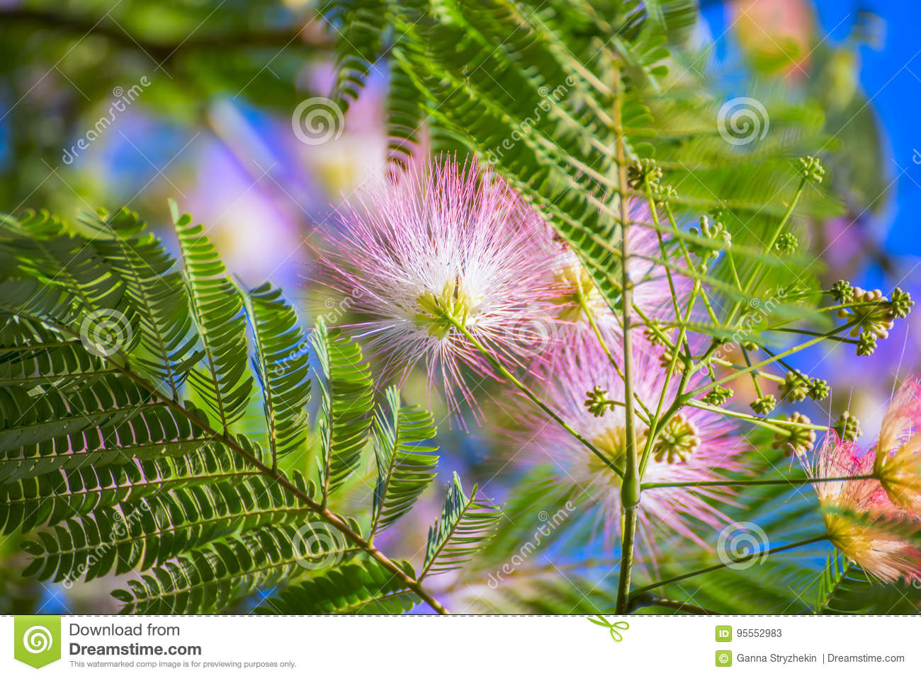 Flowering Of Pink Fluffy Flowers Albition Stock Image Image Of