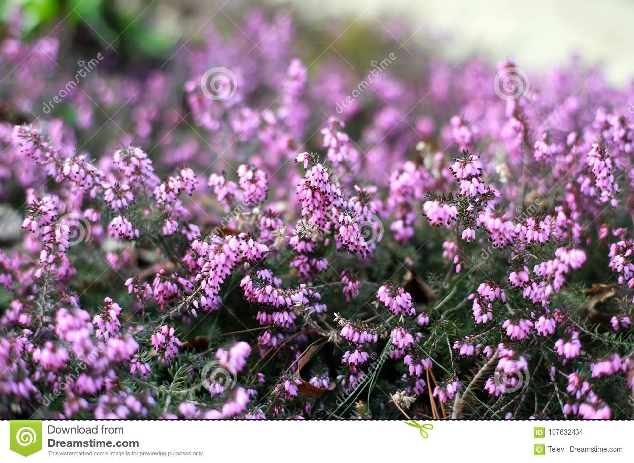 Flowering Pink Heather In Early Spring Stock Photo Image Of
