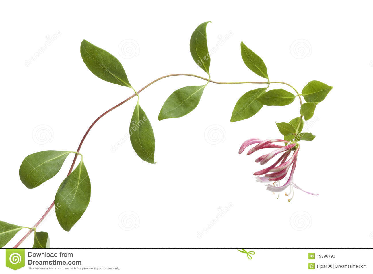 Honeysuckle Clipart Royalty Free Stock Images  Image