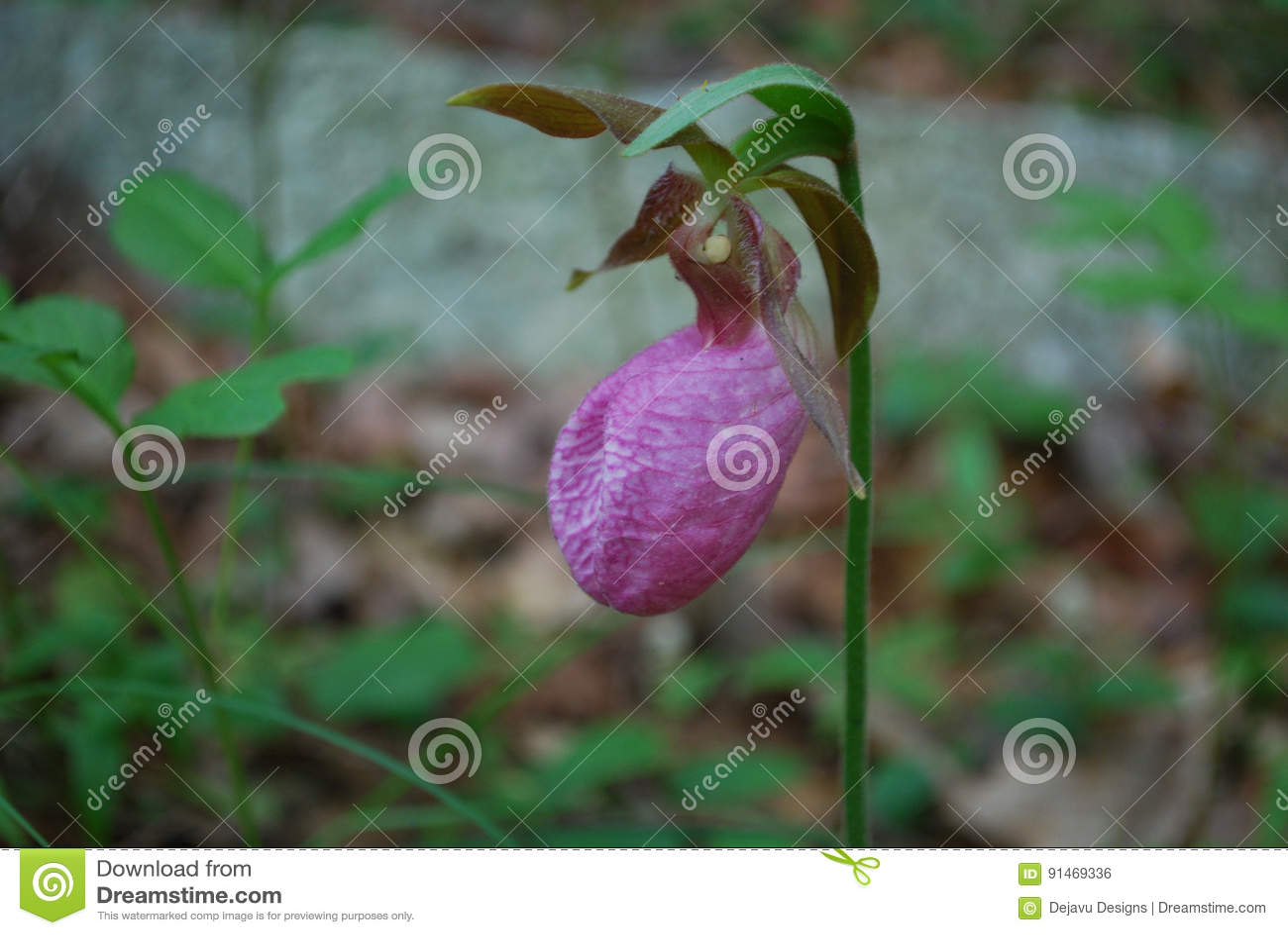 Flowering Pink Ladies Slipper Flower Blossom In The Wild Stock Photo