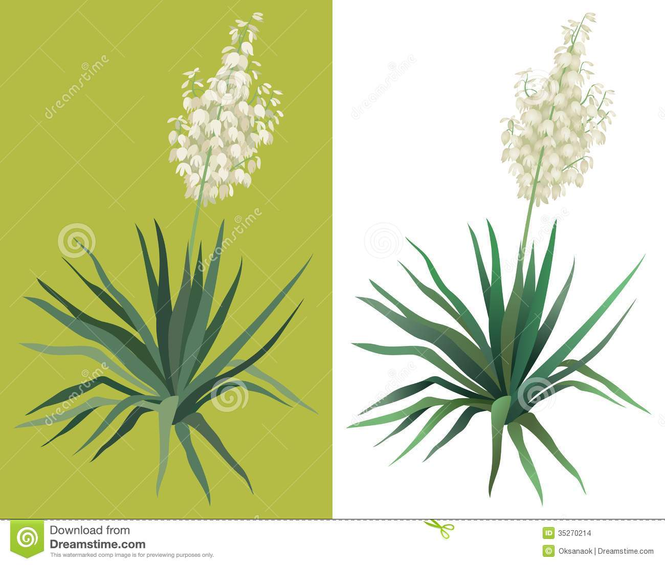 Flowering Plant Yucca Stock Vector Illustration Of Blossom 35270214