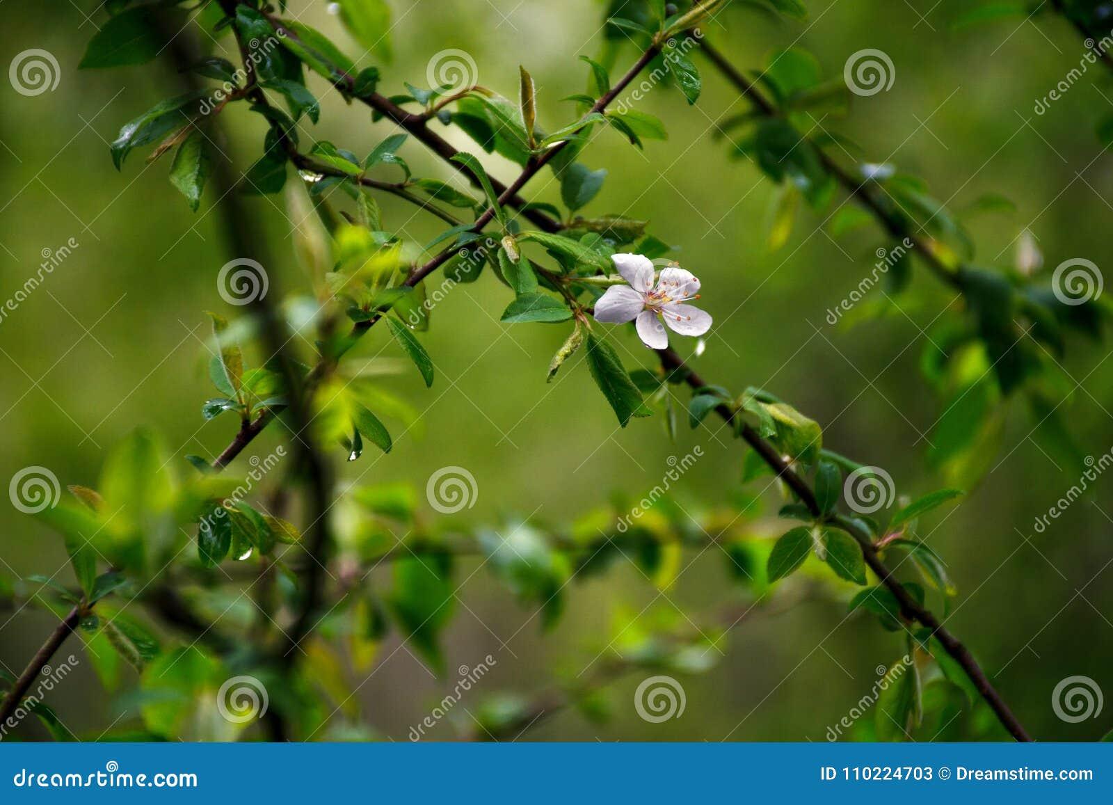Flowering plum trees the first spring flowers stock image image flowering plum trees the first spring flowers mightylinksfo