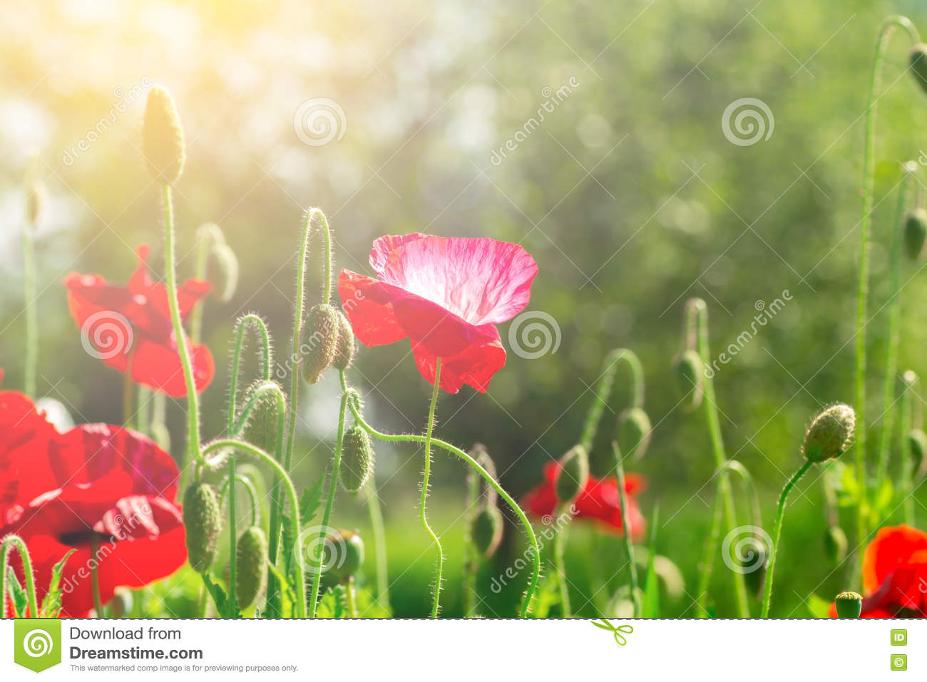 Flowering poppies a field of poppies sunlight shines on plants flowering poppies a field of poppies sunlight shines on plants red spring flowers gentle warm soft colors blurred background mightylinksfo