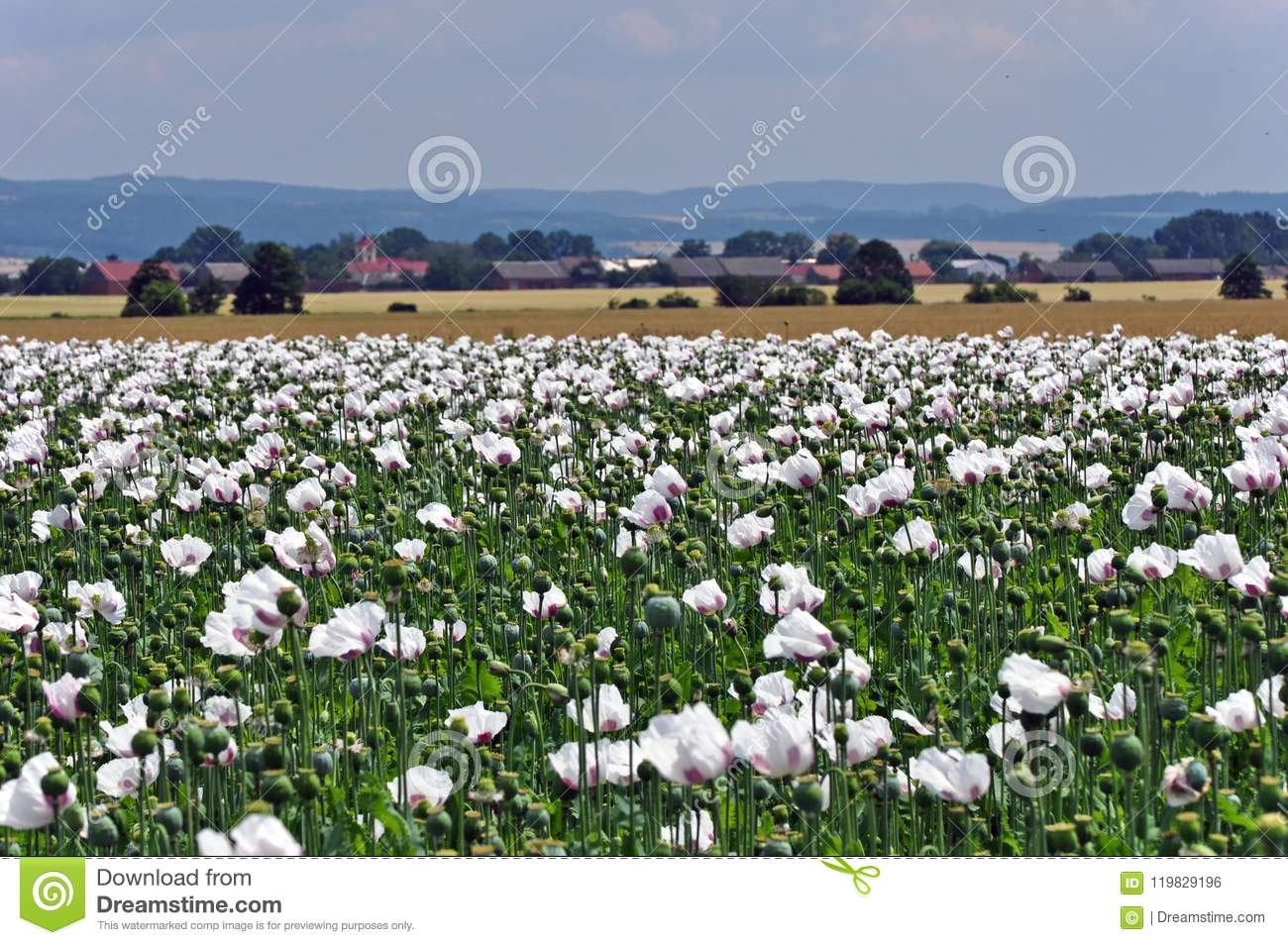 Flowering Poppy Field With White Flowers And Village With Church