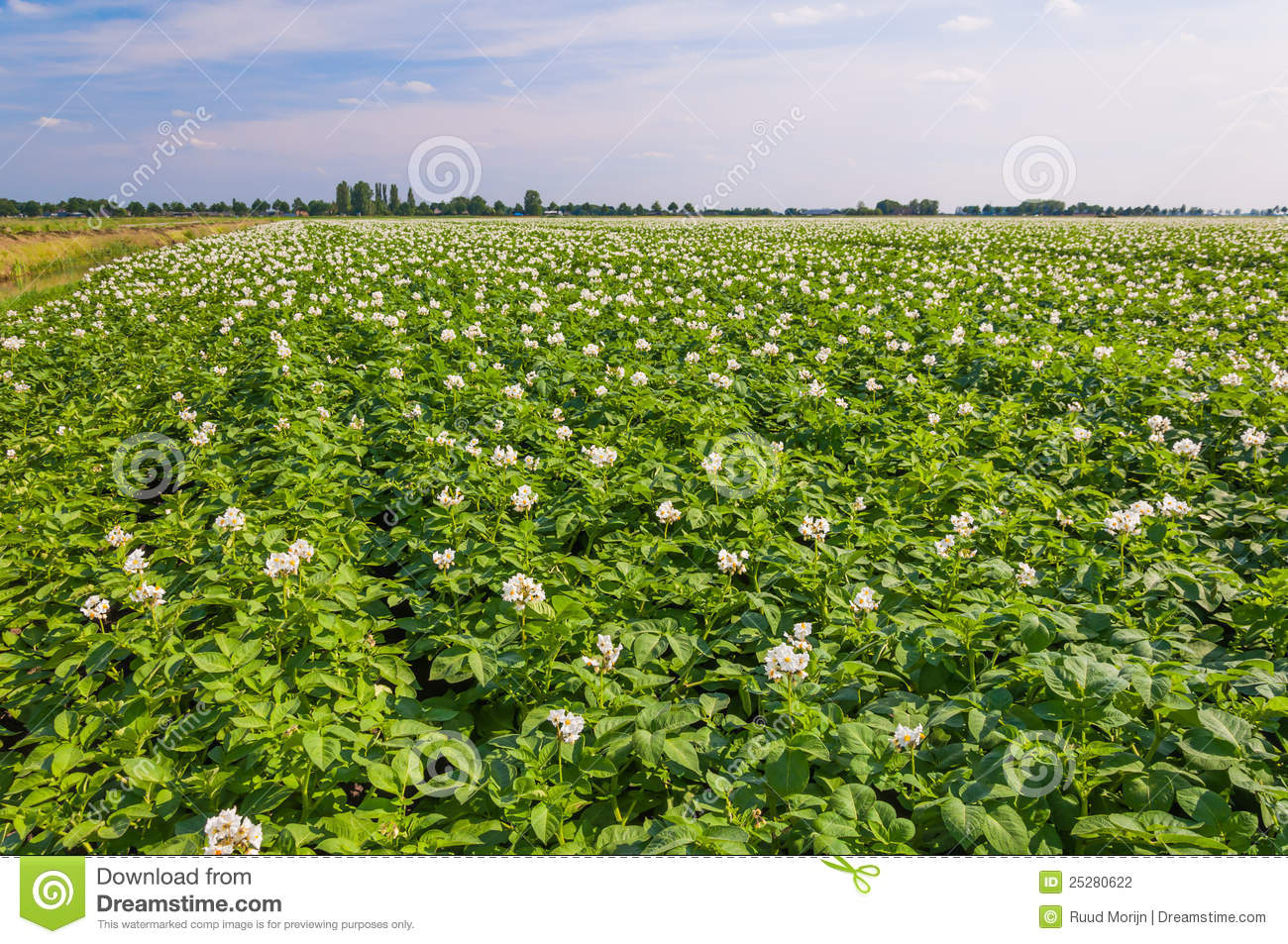 Flowering Potato Plants In A Large Field Stock Photography ...