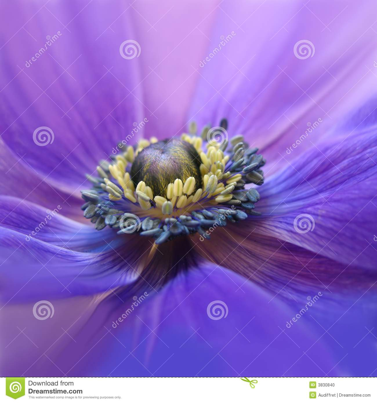 Flowering purple anemone