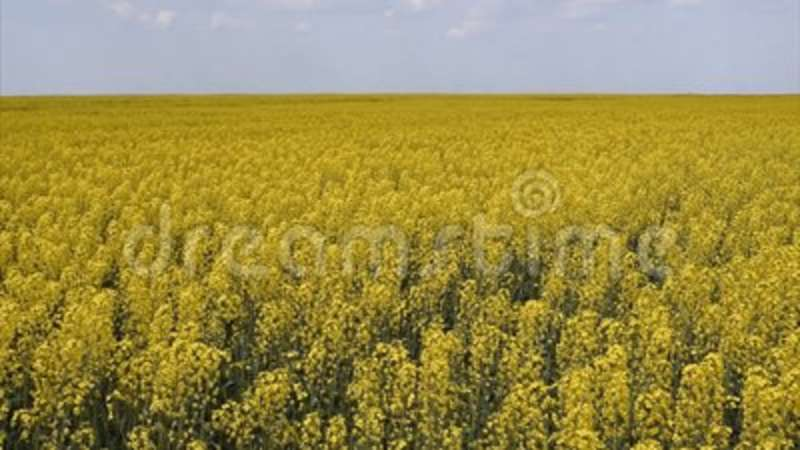 Flowering in the field yellow flowers in the field cedar crop flowering in the field yellow flowers in the field cedar crop stock footage video of countryside green 115266796 mightylinksfo