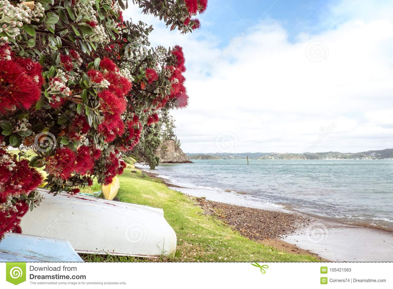 Flowering red Pohutukawa is known as the New Zealand Christmas t