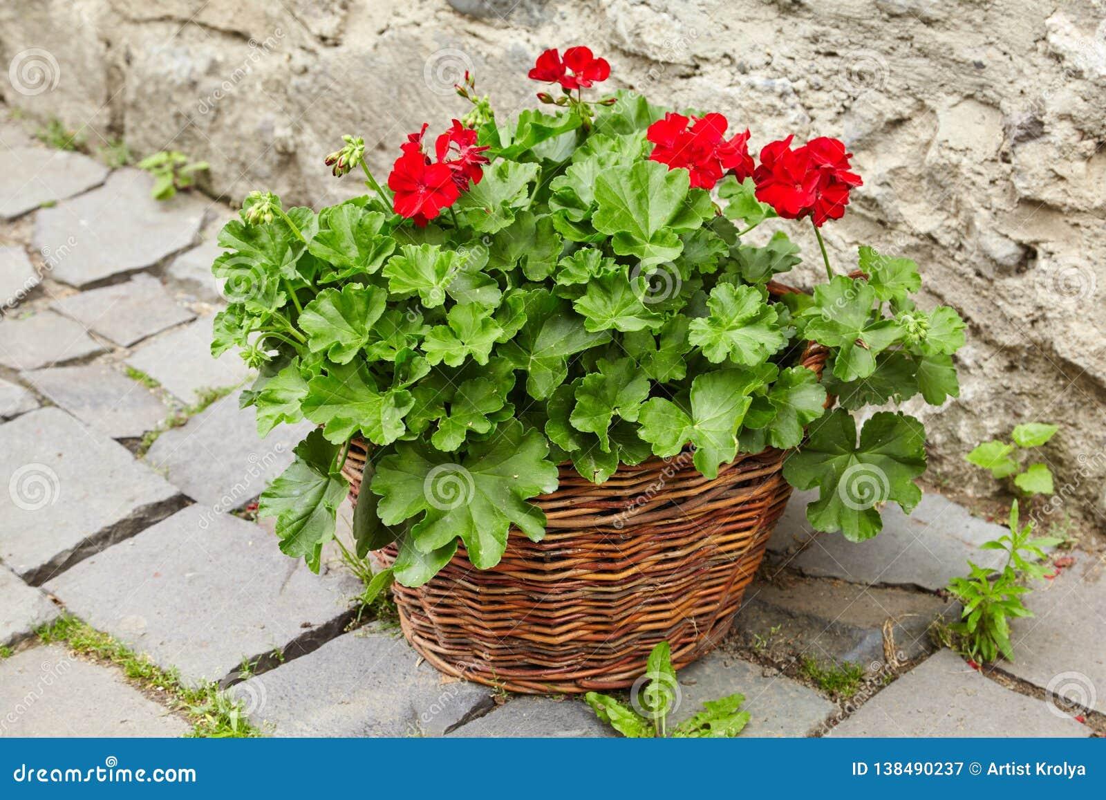 Red Geraniums Flowers, Pelargonium peltatum