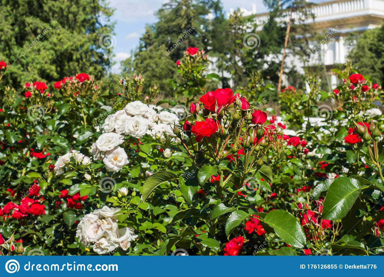 Flowering Rose Bushes In The Summer Garden Stock Image Image Of
