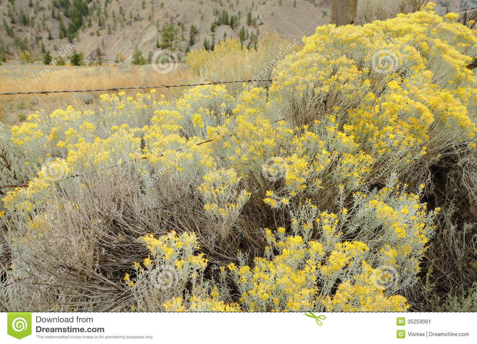 Flowering Sagebrush And Ranch Fence Stock Image Image