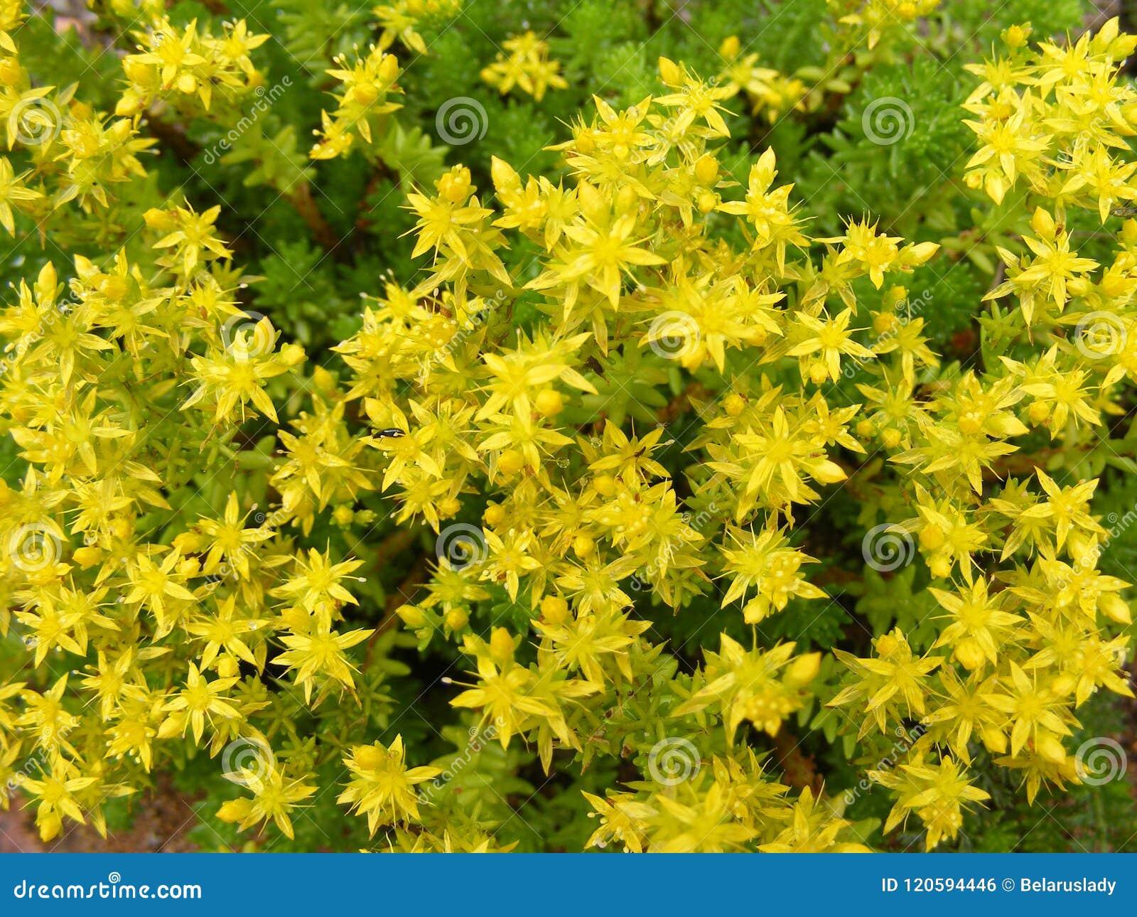 Yellow Flowering Sedum Acre Background Texture Stock Photo Image