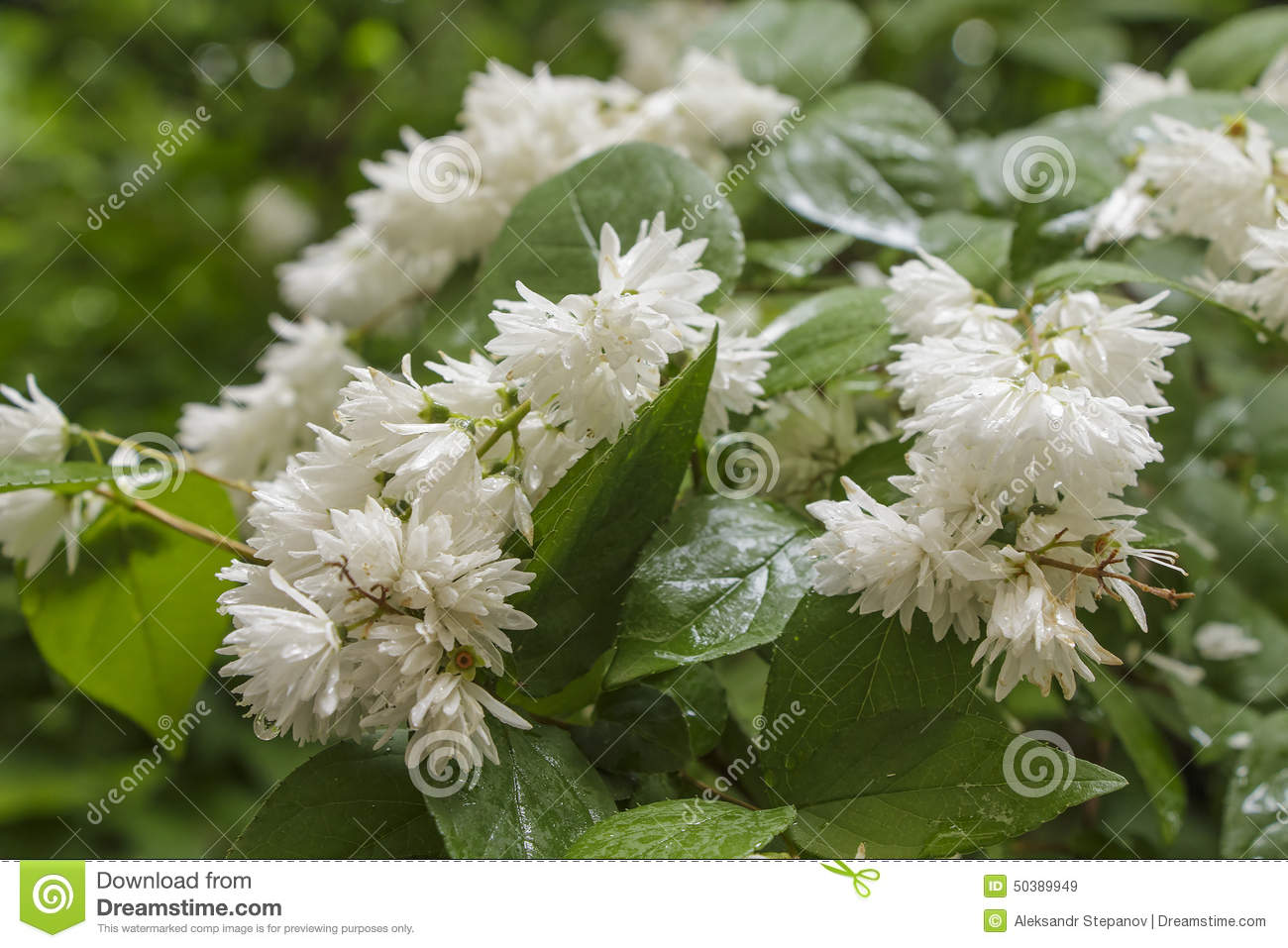 Flowering Shrub With White Flowers In Rainy Weather Stock Image