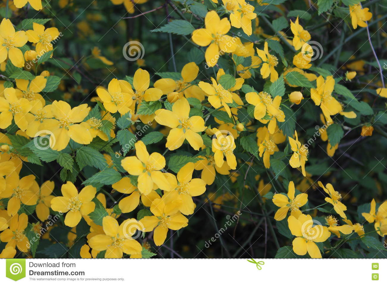 Flowering Shrub With Yellow Flowers Stock Image Image Of Petal