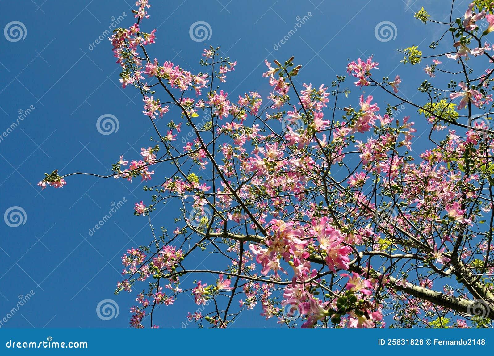 Flowering Silk Floss Tree Stock Photo Image Of Silk 25831828