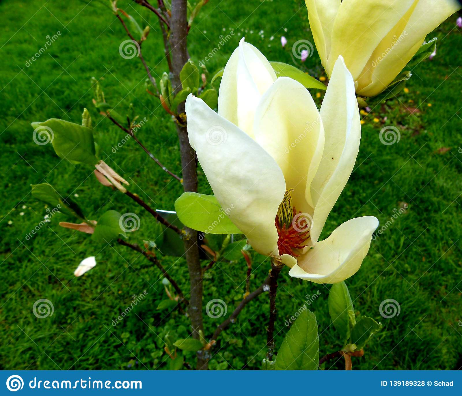 Flowering Of A Small Magnolia Tree With Grass As A Background Stock