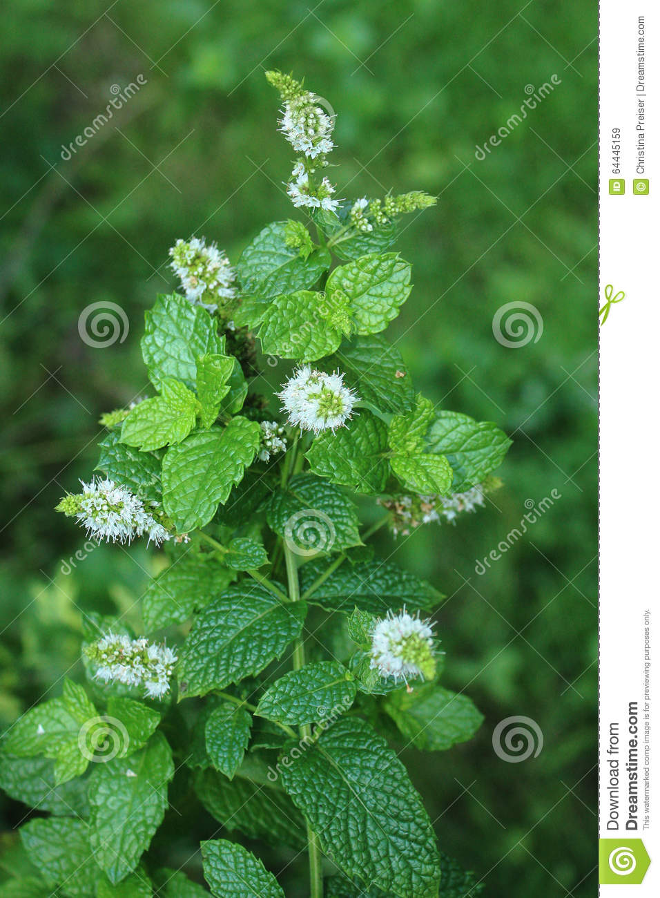 Flowering Spearmint Stock Photo - Image: 64445159