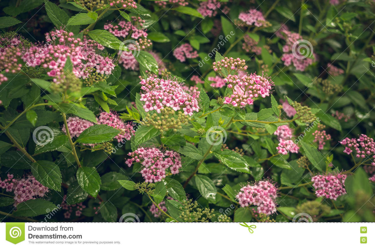Flowering Spring Shrub Of Spirea Pink Stock Image Image Of